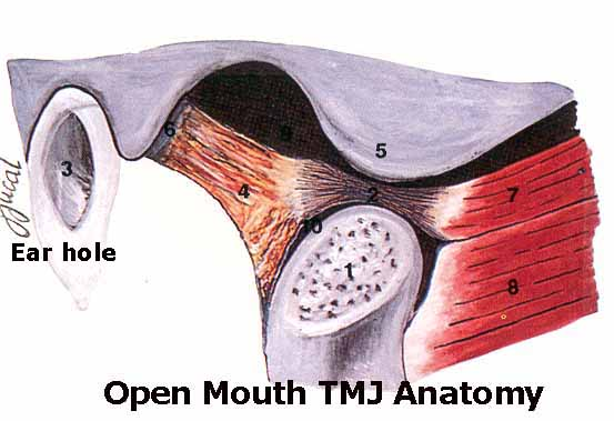 Open Mouth TMJ Anatomy
